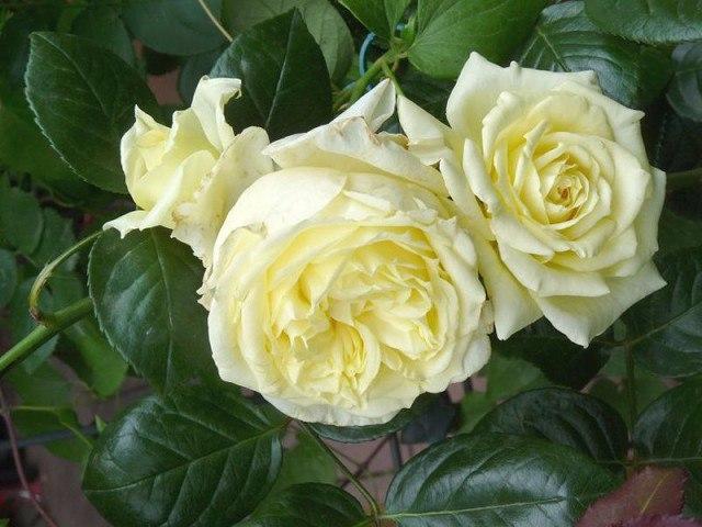 Весенняя обрезка роз