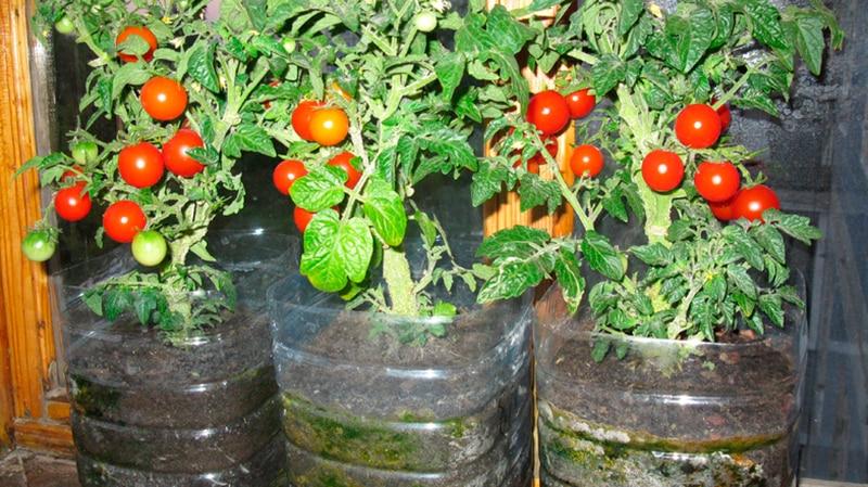 Овощи для выращивания дома 30